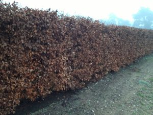Deciduous instant Hedge