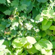 Close up of Native Mix hedge leaves