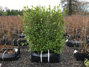 Griselinia littoralis Practical Instant Hedge