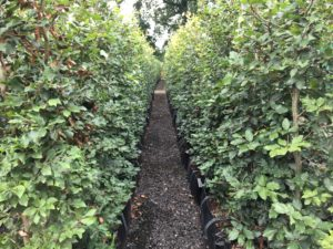1.8m high Beech Instant Hedge