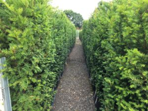 1.8m high Yew Instant Hedge